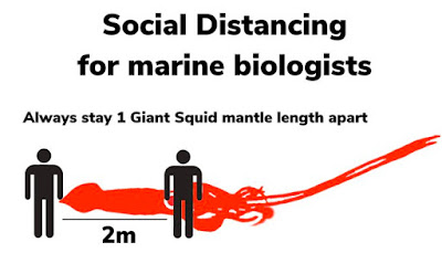 Social distancing for marine biologists: Always stay 1 giant squid mantle length apart