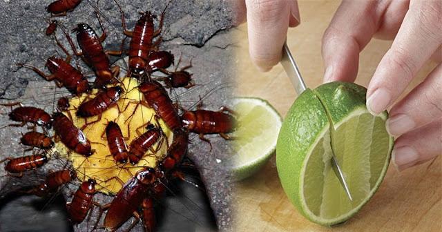 Chỉ cần một quả chanh, nhà bạn sẽ không cần phải lo có kiến, muỗi, gián nữa