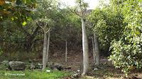 Pachypodium geayi - Koko Crater Botanical Garden, Oahu, HI