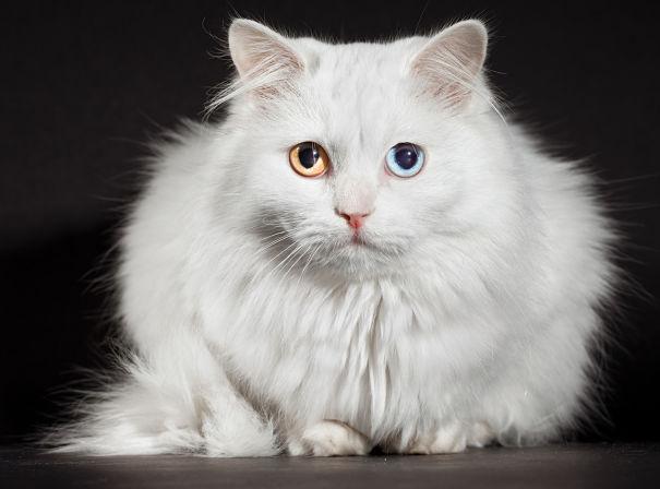 berikut gambar gambar kucing anggora yang anda bisa lihat
