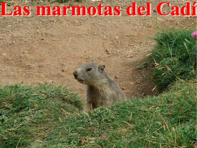 Las marmotas en la Sierra del Cadí