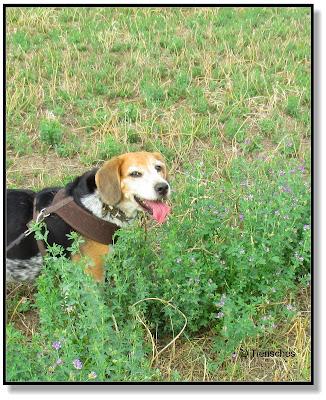 Emma, Beagle