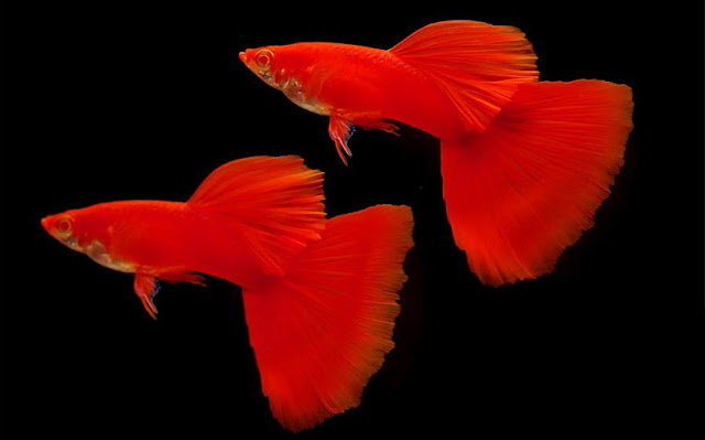 Ikan Guppy Super Red Singapore - Cara Budidaya Ikan