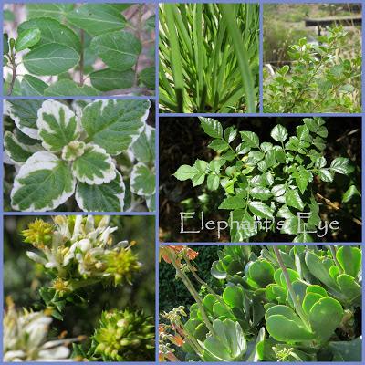 Grewia occidentalis, Bulbine frutescens, Searsia crenata,  Plectranthus madagascariensis, Tecoma capensis Agathosma apiculata, Cotyledon orbiculata