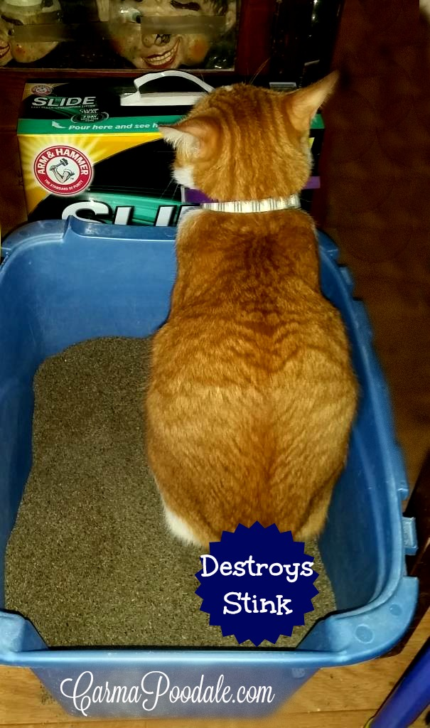 Orange cat named DaeDae pooping in the litter box.