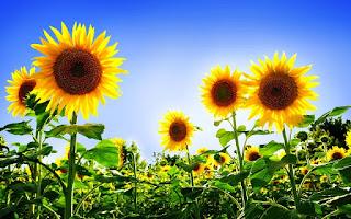 Gambar Bunga Matahari Paling Indah 20004_Sunflower