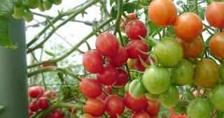 Selain sayuran, buah - buahan juga bisa ditanam dengan metode hidroponik. Seperti tomat, melon dan cabe dapat dibudidaya dengan hidroponik. Tetapi agar buah-buahan tersebut tumbuh dengan baik, hal yang harus Anda perhatikan adalah nutrisi air dan asupan cahaya.