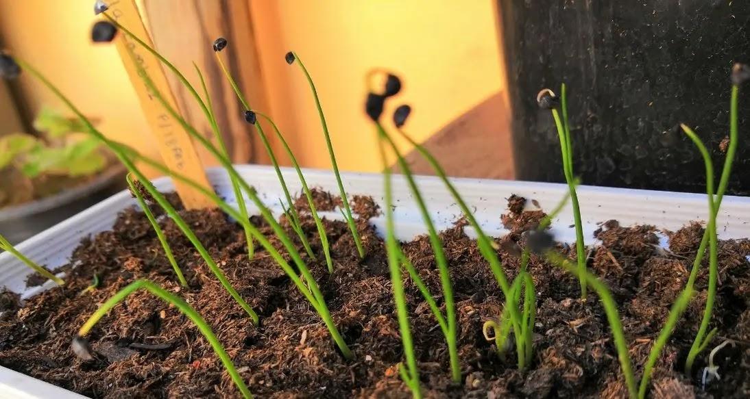 Como germinar semillas de CEBOLLA CAMBRAY en casa.