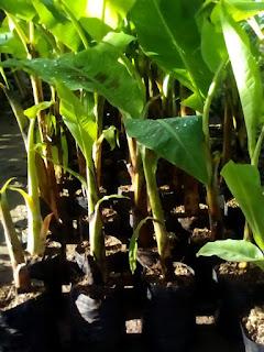jual bibit pisang cevendish bantul Yogyakarta