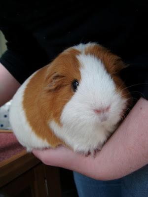 #AdoptDontShop Pudding Guinea Pig
