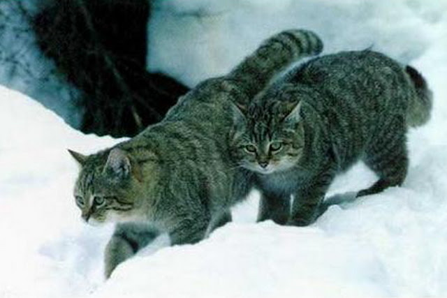 siberian forest cats