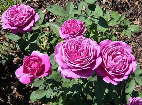 Old Port сорт розы фото описание