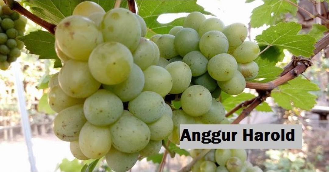 Stok banyak! Bibit buah anggur import jenis Harold Bayar di Tempat Kota Bandung #bibit buah genjah