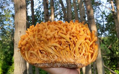 Cordyceps mushrooms (Ophiocordyceps sinensis)