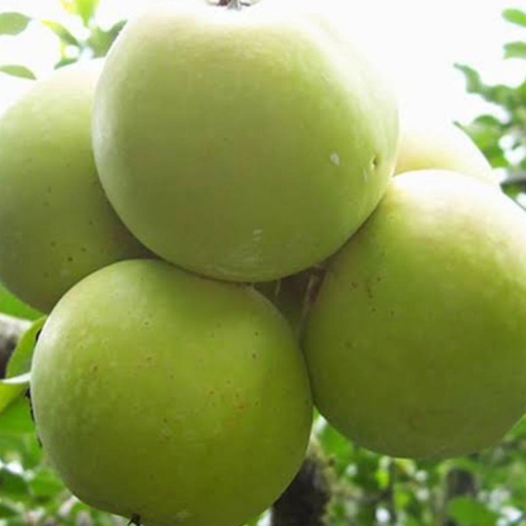 Promo! bibit tanaman buah apel wanglin Kota Surabaya #bibit buah genjah