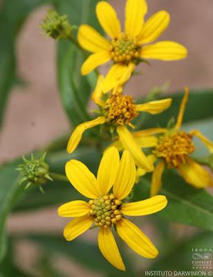 chilca amarilla flores