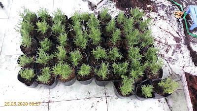 Một số cây hương thảo giâm cành 1 tháng tuổi
