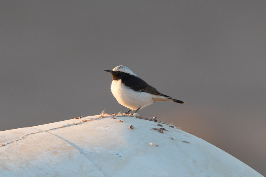 Eastern Morning Wheatear