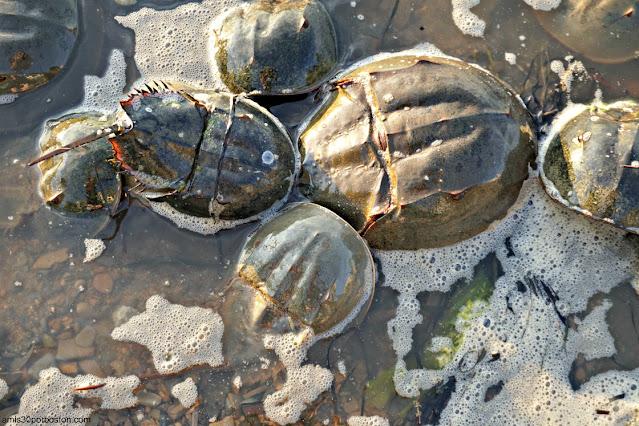 Cangrejos Herradura o Horseshoe Crab en las Costas de New Hampshire