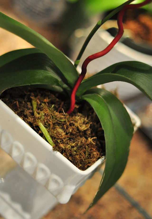 how to replant your orchids