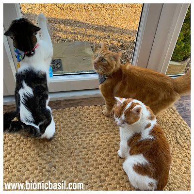 Melvyn, Fudge and Amber on Mandalas on Monday ©BionicBasil® Colouring With Cats #96