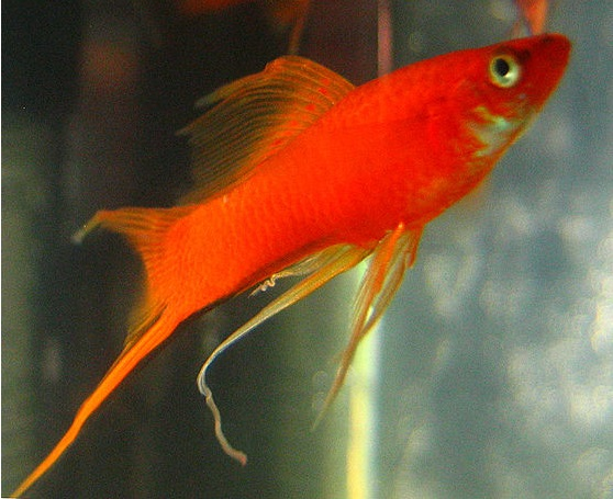swordtail fish care