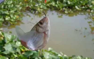 Hướng dẫn làm nhậy và mồi câu cá Diếc