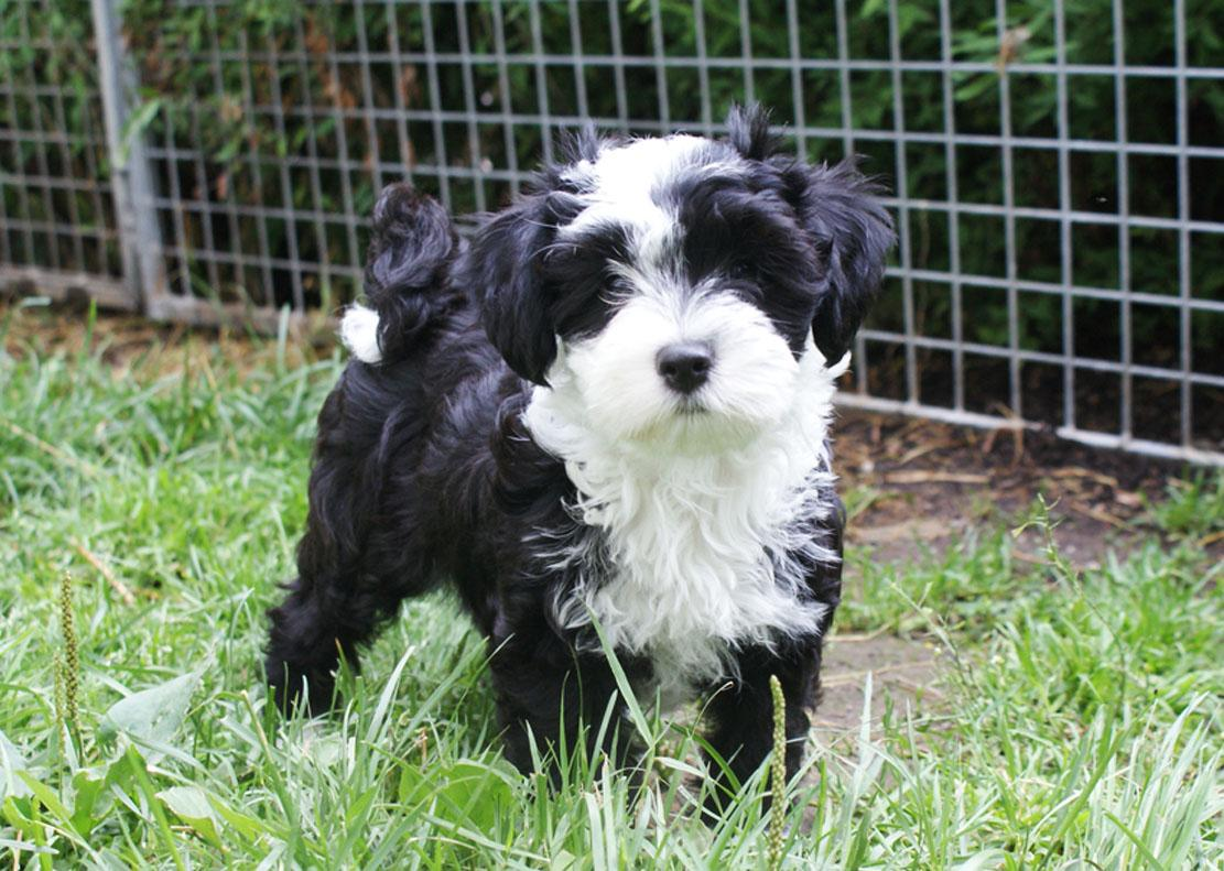tibetan terrier puppies available mr puppy pictures 2001