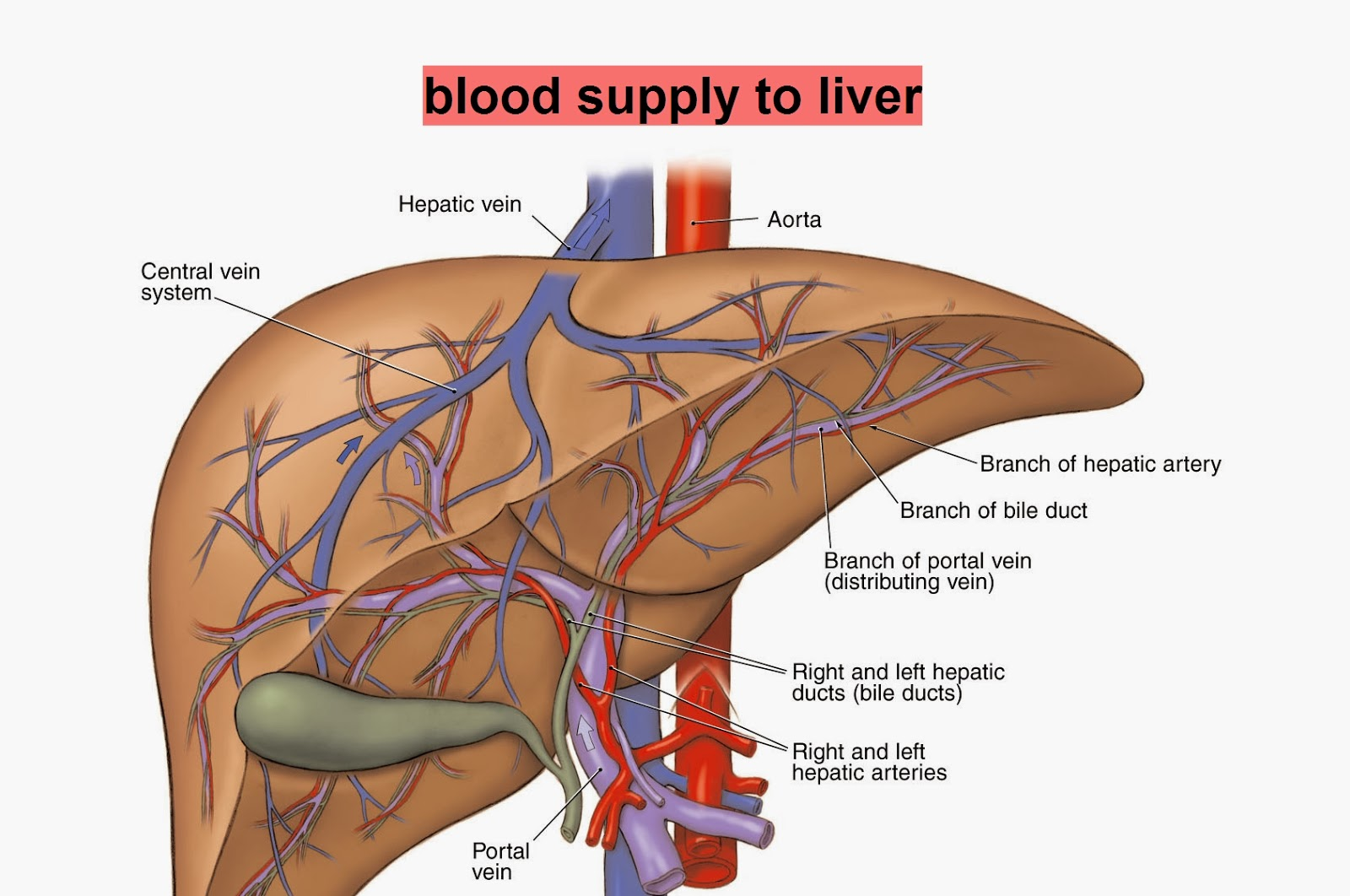 DIAGRAMS: Human Liver blood supply