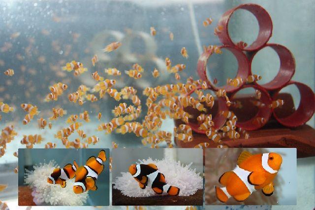 Bibit Ikan Nemo