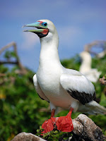 Red-footed Booby – Tubbataha Reef National Park, Philippines – photo by Gregg Yan, 2012