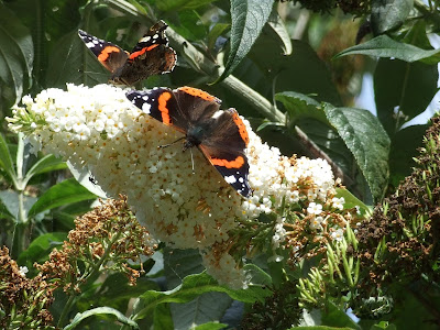 Red Admirals on the white buddleia