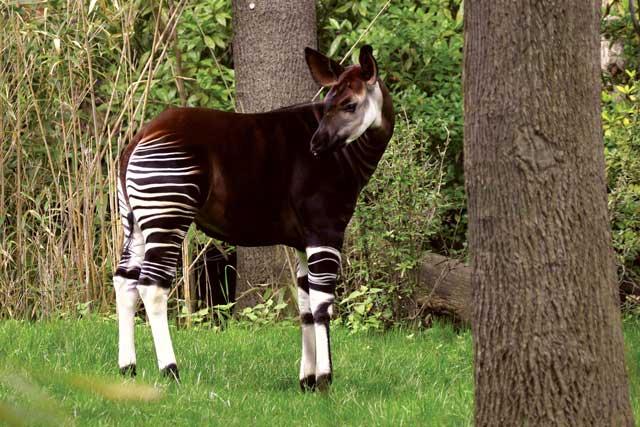 Okapi, Dahulu Dianggap Sebagai Kuda Mistis Afrika