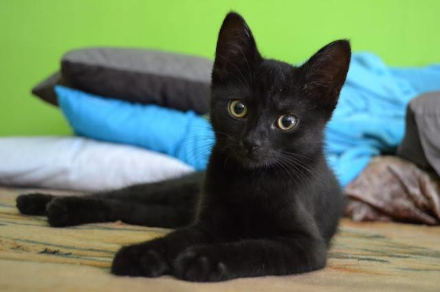 قط بومباي أشهر قطط العالم