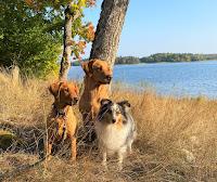 Hushållets hundar hösten 2020: Glory, Maya och Deana.