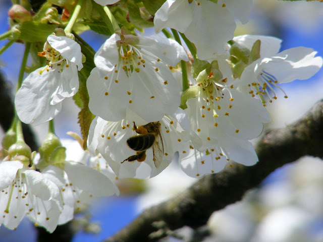 Honey bee Apis mellifera on cherry blossom. Photo by Loire Valley Time Team.