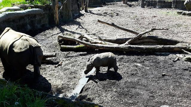 Nashorn-Baby im Zoo Basel