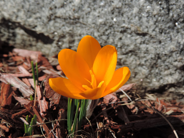 Golden orange crocus in bloom in front of base of granite tombstone