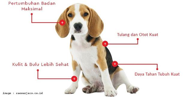 Anjing Sehat Makan Caesar Jaco - Blog Mas Hendra