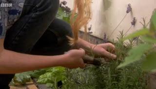 Alys picks rosemary