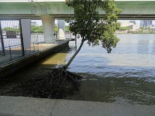 brisbane-Mangrove-am-bicentennial-walkway