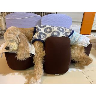 cães acamados pet fofão
