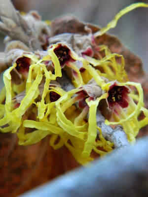Arnold Promise witchhazel blooms by garden muses-not another Toronto gardening blog
