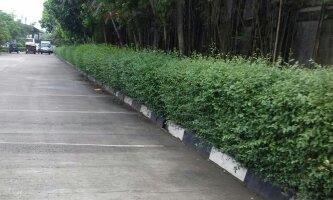 Jual Pohon Teh Tehan Pagar - www.suryataman.com