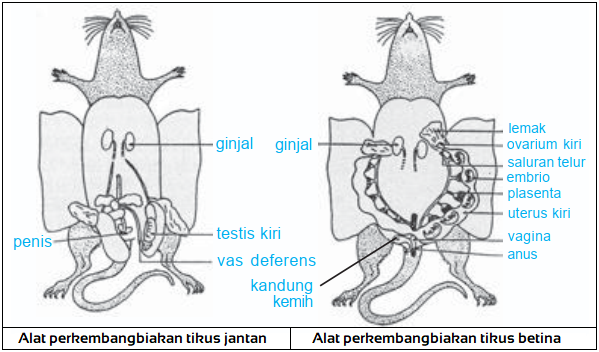 Gambar alat organ reproduksi pada tikus
