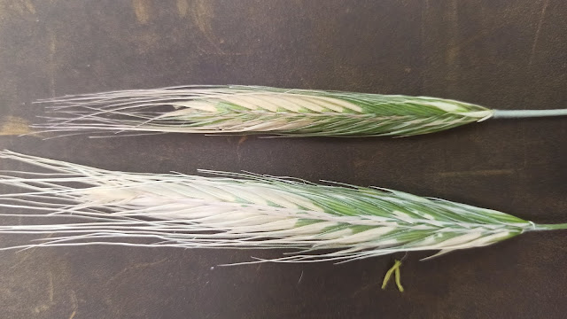 Frost Damage to Rye