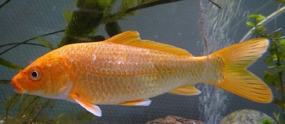 Jenis Ikan Mas Terlengkap Beserta Gambarnya