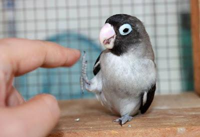 MEMAHAMI BAHASA TUBUH LOVEBIRD