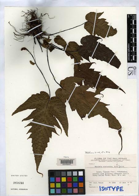 Tectaria stalactica endemic Peñablanca, Cagayan, Luzon Island. Photo is from Pteridophyte Collection Consortium