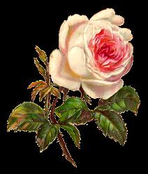 Antique Images: White Rose Digital Illustration Flower